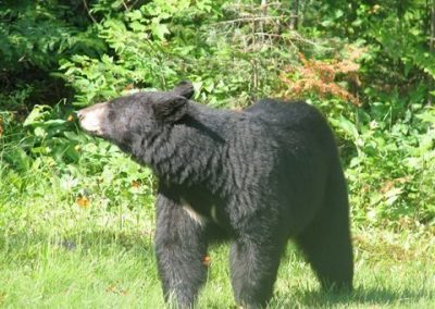 Ontario Black Bear Picture