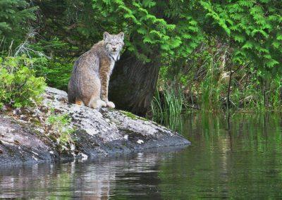 ontario lynx