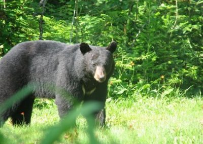 trophy black bear of Ontario