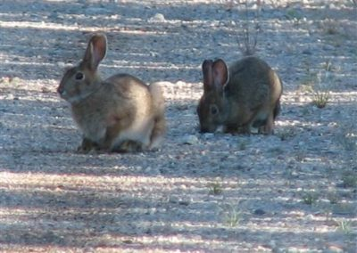 summer rabbits in Ontario