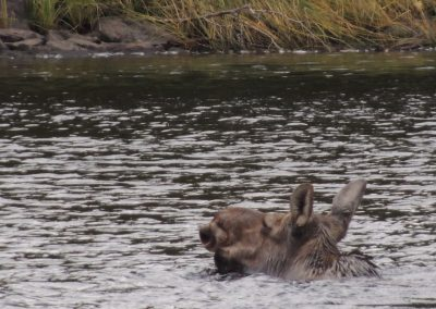 Cow moose in river