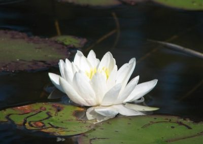 white lilly pad flower