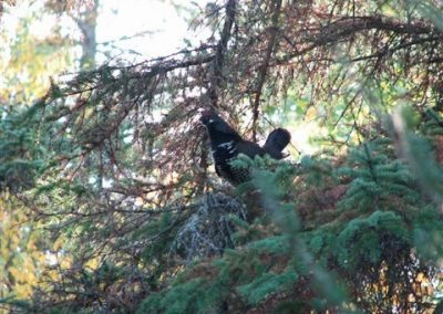 Spruce Grouse in Tree